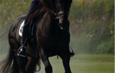 "Here's what you should feel in a medium trot and canter: 1. The SAME tempo as collection. (Although it might ""feel"" slower than the collected gaits because the strides are longer.) Try counting it out loud. 2. An uphill balance like an airplane taking off. The success of your medium gait totally depends on how much you collect and engage the hind legs on the short side. So give connecting aids and keep them on for most of the short side. Then just soften your hands a bit forward when you start the medium. During the connecting aids, you're coiling the spring of the hind legs and getting your horse ""bubbling over"" with compressed energy so he can express that power over the ground in the medium. To apply connecting aids, close both calves as if asking for a lengthening. Close your outside hand to recycle that power. Vibrate the inside rein to keep the neck straight. The connecting aids can last for a couple of seconds or even for the entire short side. If your horse goes wide behind in the trot, it shows a lack of engagement. Use a long set of connecting aids and also as an exercise, do the following: Ride a few steps of shoulder-in. Then do a few strides of medium. Then collect the trot after the medium by stepping back into shoulder-in. The shoulder-in engages the hind legs. Stepping into shoulder-in BEFORE he gets wide behind teaches him to keep the hind legs stepping under and not start pushing backwards. Stepping into shoulder-in to collect AFTER the medium insures that you don't rely too much on your hands, which would stop the hind legs."